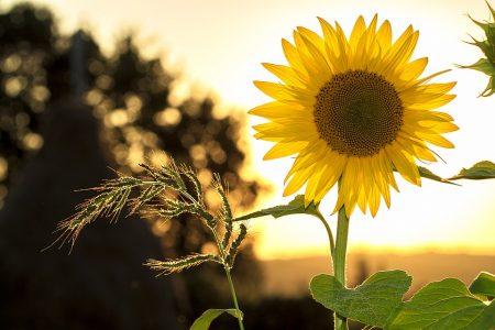 sunflower-1127174_960_720