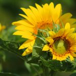 sunflower-547318_1920